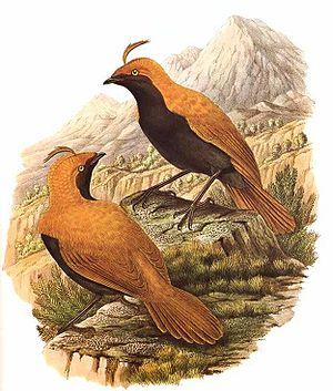 Satinbird - Cnemophilus macgregorii