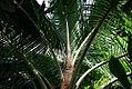 Cocos nucifera 5zz.jpg