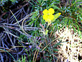 Coincya monensis subsp. nevadensis 25July2009 FlowersCloseup SierraNevada.jpg