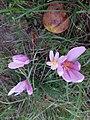Colchicum autumnale, Westheim, Germany.jpg