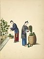 Collecting leaves from mulberry plants.jpg
