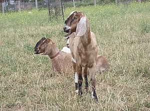 Collingwood Children's Farm - Nubian goats are kept at the Farm.