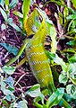 Colour changing camouflage yellow green Chameleon.jpg