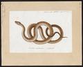 Coluber laevis - 1700-1880 - Print - Iconographia Zoologica - Special Collections University of Amsterdam - UBA01 IZ12100287.tif