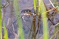 Columbia Spotted Frog (Rana luteiventris) (0f98550a-b11f-45f8-96d2-b5d21d49d9a9).jpg