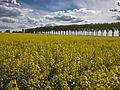 Colza route de Jouars (Yvelines)-4-cliche Jean Weber (23566510032).jpg