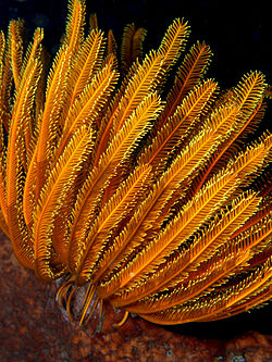 Comanthia schlegeli (Feather star).jpg