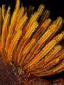Comanthia schlegeli (Feather star).jpg