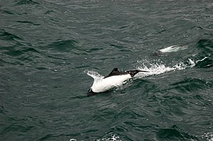 Commerson's dolphin - A Commerson's dolphin in the Strait of Magellan
