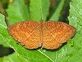 Common Castor Ariadne merione by Dr. Raju Kasambe DSCN0732 (2).jpg