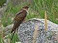 Common Cuckoo (Cuculus canorus) (30540380361).jpg