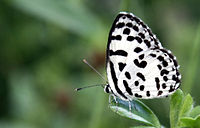 Common Pierrot-Castalius rosimon.JPG