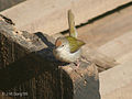 Common Tailorbird I IMG 9042.jpg
