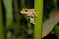 Common Tree Frog (Polypedates leucomystax)7.jpg