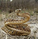 Common cat snake ( Boiga trigonata).jpg
