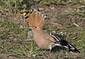 Common hoopoe - Upupa epops 03.jpg