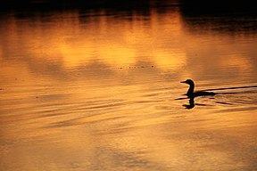 Common loon (18497988623).jpg