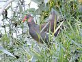 Common moorhen (Jal Mugi) in a pond.jpg