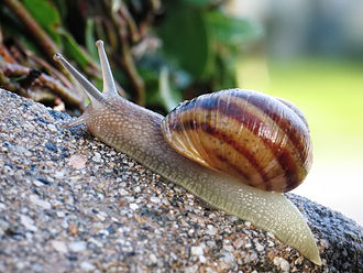 Helix (gastropod) - An unidentified Helix species from southern Europe
