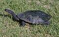 Common snakeneck turtle (Chelodina longicollis) 2.jpg