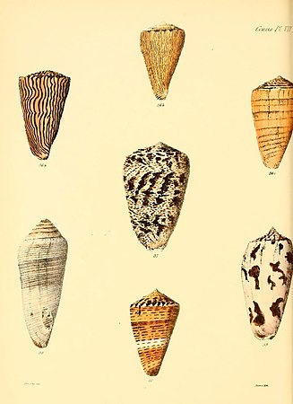 Conchologia iconica, or, Illustrations of the shells of molluscous animals (Conus, Plate 7) (6030073604).jpg