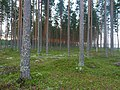 Coniferous forest in Sweden near the Svartälven river 01.jpg