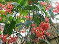 Conservatoire du bégonia 2015. Begonia corallina 02.JPG