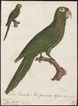 Conurus euops - 1796-1808 - Print - Iconographia Zoologica - Special Collections University of Amsterdam - UBA01 IZ18500145.tif