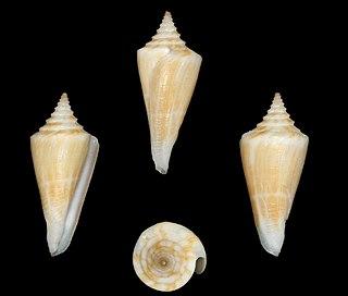 <i>Conus parascalaris</i> Species of sea snail