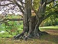 Copper European Beech Tree at Forest Hills Cemetery, Jamaica Plain-Boston, MA - August 15, 2015.jpg