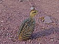 Coqui Francolin Chick (Peliperdix coqui) (7031863735).jpg