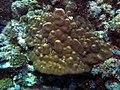 Coral (6165874411).jpg