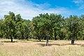 Cork oak (42688326492).jpg