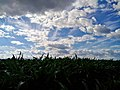 Corn field - Flickr - Stiller Beobachter.jpg