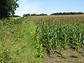 Corn field near Lilstock - geograph.org.uk - 1436807.jpg
