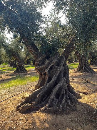 Corning, California - The old Sevianno olive tree in Corning, Apr 2015.