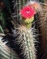 Corryocactus sp.jpg