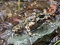 Corsica painted frog Discoglossus montalentii.jpg