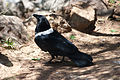 Corvus albus -Oakland Zoo, California, USA-8a.jpg