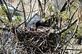 Corvus cornix nest 5 days.JPG