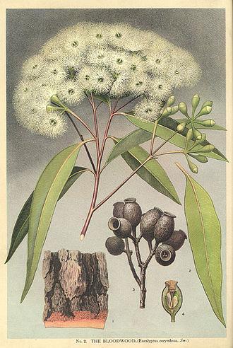 Corymbia gummifera - Image: Corymbia gummifera Minchen
