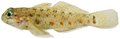 Coryphopterus dicrus - pone.0010676.g164.png