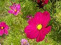 Cosmos bipinnatus01.jpg