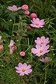 Cosmos bipinnatus flowers.JPG