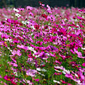 Cosmos flowers in Thailand 09.jpg
