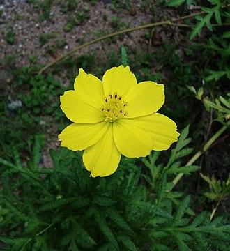 Cosmos (plant) - Image: Cosmos sulphureus കോസ്മോസ് പൂവ്