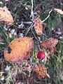 Cotoneaster tomentosus sl3.jpg