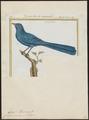 Coua caeruleus - 1700-1880 - Print - Iconographia Zoologica - Special Collections University of Amsterdam - UBA01 IZ18800121.tif