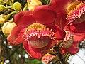 Couroupita guianensis - Cannon Ball Tree at Peravoor (8).jpg