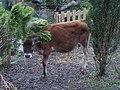 Coy calf, Calcutt - geograph.org.uk - 1254536.jpg